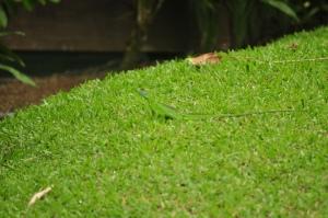 Jesus lizard on green grass